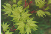 Acer Plant